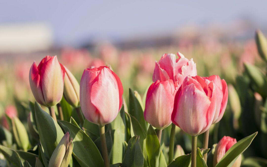 wandelen langs de tulpenvelden